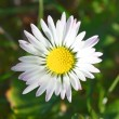 Stock Photo: White and yellow daisy detail