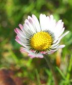 White and yellow daisy detail — Stock Photo