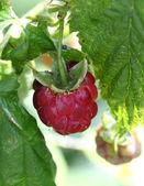 Raspberry fruit — Stock Photo