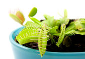 Blue pot with Dionaea — Stock Photo