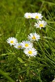 Дэйзи в траве — Стоковое фото