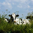Dutch cow — Stock Photo #2825950