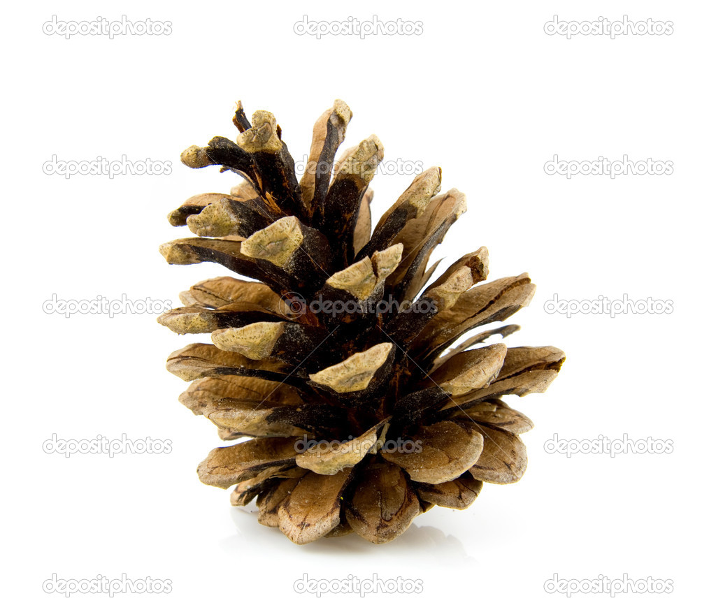 Pine cone isolated on white background — Stock Photo #2826110