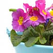 Pink Primula flowers in blue bucket — Stock Photo