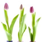 Three Dutch tulips — Stock Photo #2897986