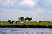 Typical Dutch cows — Stock Photo
