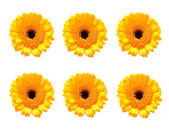 Six Gerber flowers in a row — Stock Photo