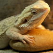 Bearded Dragon reptile — Stock Photo