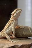 Bearded Dragon reptile — Zdjęcie stockowe