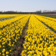 Dutch Bulb fields — Stock Photo #2999343
