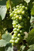 Wine grapes in vineyard — Stock Photo