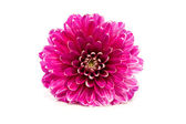 Pink Dahlia flower in closeup — Stock Photo