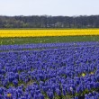 Dutch bulb field — Stock Photo #3082487