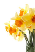 Yellow with orange daffodil flowers — Stock Photo