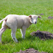 Lamb in meadow — Stock Photo