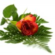 Red rose on leaf — Stock Photo