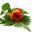 Red rose on leaf — Stock Photo #3201314