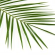 Green palm leaf - Foto Stock