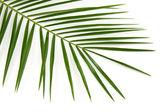 Zelené palmový list — Stock fotografie