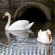 Pair of swans — Stock Photo #3215143