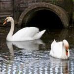 Pair of swans — Stock Photo