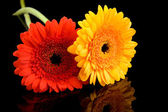 Red and yellow gerber flowers — Stock Photo
