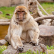 Stock Photo: Barbary ape