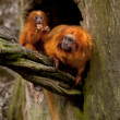 Goldon Lion Tamarin monkey — Stock Photo
