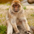 Barbary ape — Stock Photo
