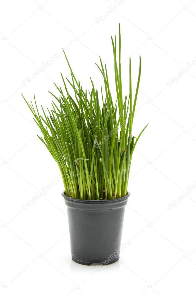frischer schnittlauch pflanzen in schwarzen topf stockfoto sannie32 3313475. Black Bedroom Furniture Sets. Home Design Ideas