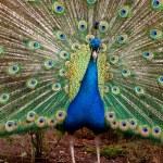 Portrait of male peacock — Stock Photo