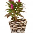 Pink Celosia Venezuela plant — Stock Photo