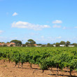 Vineyard with beautiful sky and clouds — Stock Photo