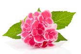 Pink hydrangea flower — Stock Photo