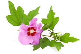 Pink Hibiscus flower — Stock Photo