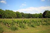 Nederlandse wijngaard — Stockfoto