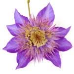 Purple Clematis flower — Stock Photo #3818624