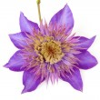 Purple Clematis flower — Stock Photo