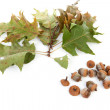 Autumn leaves with acorns — Stock Photo
