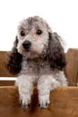 Grey poodle dog in wooden crate — Stock Photo