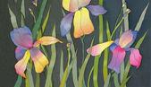 Iris sobre fondo negro — Foto de Stock