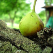 Pear on old tree - Stock Photo