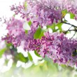 Lilacs — Stock Photo #3018186