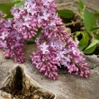Lilacs — Stock Photo #3018190