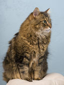 Adult maine coon cat — Stock Photo