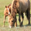 Horse and foal — Stock Photo #2702159