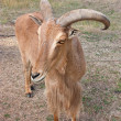 Barbary sheep - Stock Photo