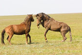 Fight of horses — Stock Photo