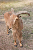Barbary sheep — Stock Photo