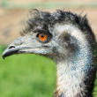 Ostrich emu - Stock Photo